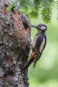 Great Spotted Woodpecker collects ants for brood