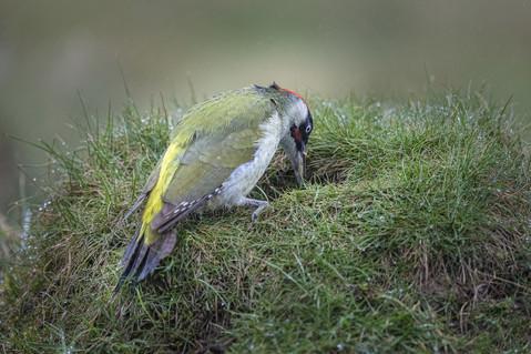 Green Woodpecker on Anthill 1