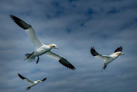 Gannets in flight 4