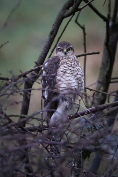 Sparrow Hawk watching