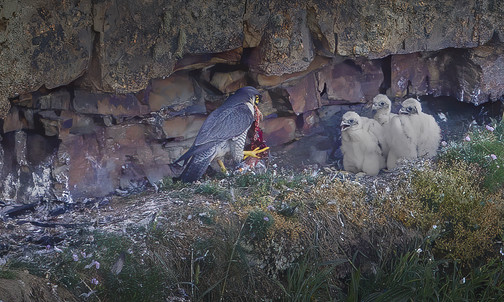 Peregrine feeding young at nest
