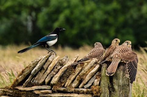 Kestrel family guarding prey from Magpie