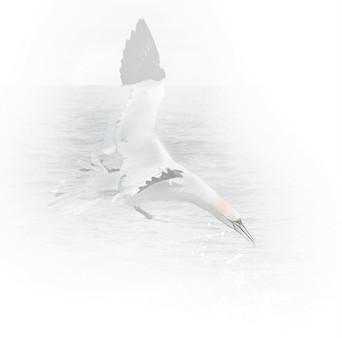 Gannet Diving - mono