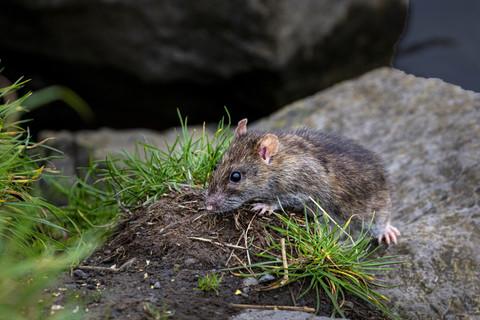 Grey rat 1