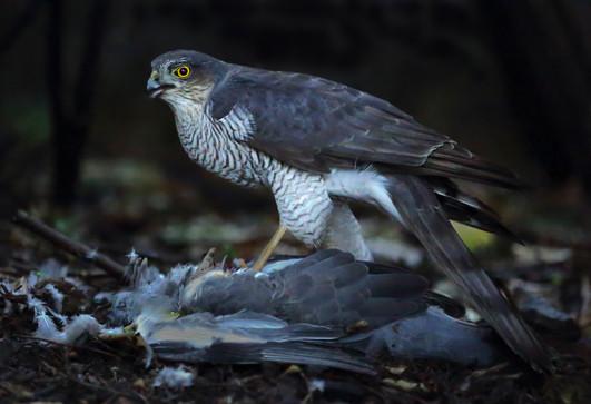 Sparrow Hawk with prey 1