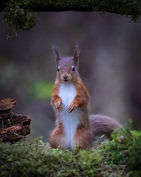 Red Squirrel alerted-ES3I1777.jpg