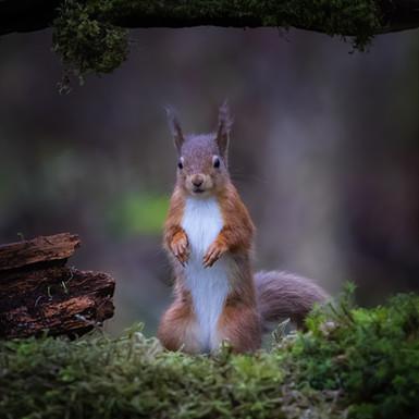 Red Squirrel alerted