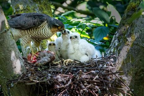 Sparrow Hawk at nest 3