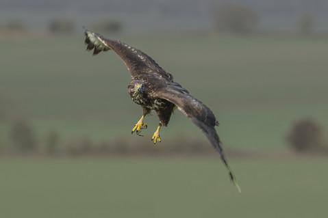 Buzzard in flight 2