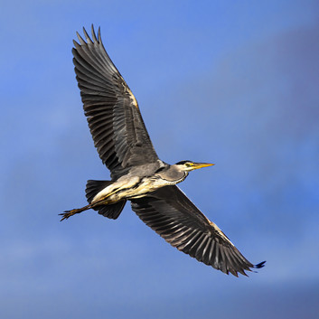 Grey Heron in flight 1