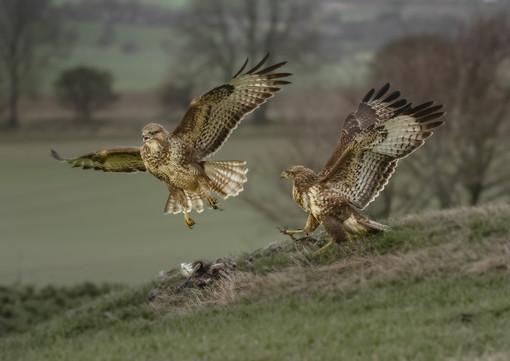 Buzzards and prey