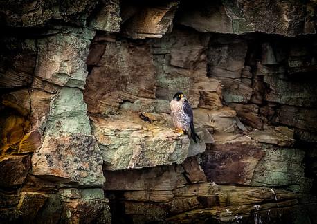 Peregrine on cliff ledge