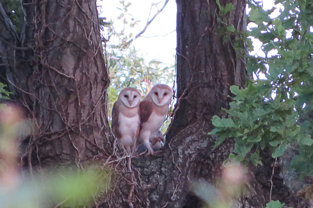 Young barn owls waiting for a meal