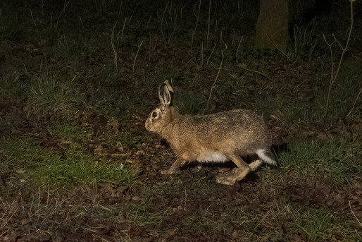 Startled Brown Hare