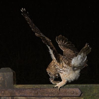 Tawny owl on gate with mouse - 2