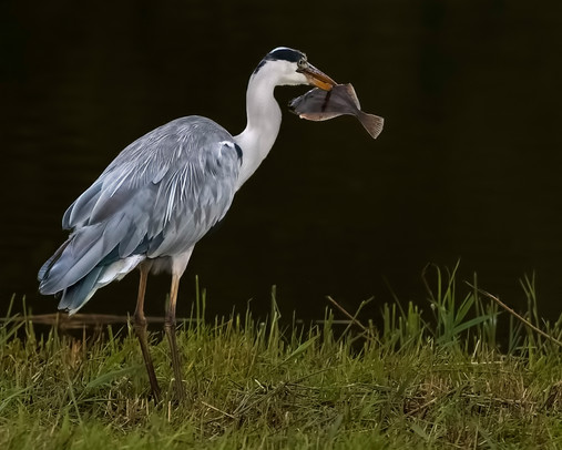 Grey Heron with catch 2