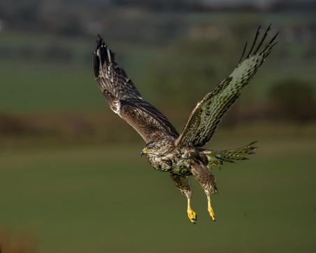Buzzard in flight 1