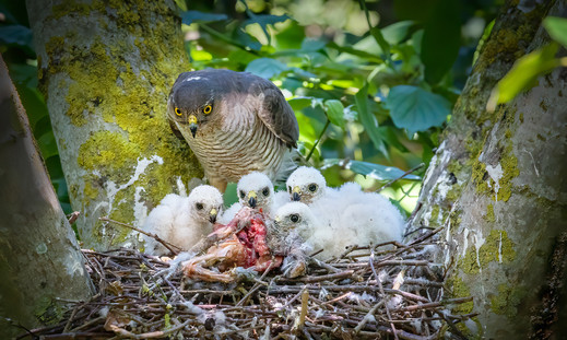 Sparrow Hawk at nest 1