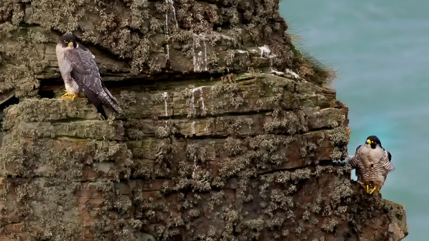 Peregrines on cliff face