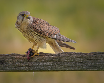 Kestrel enjoying a snack