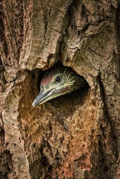Green Woodpecker Juvenile in nest