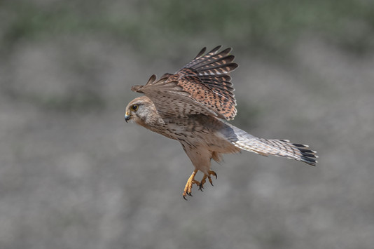 Kestrel in flight 1