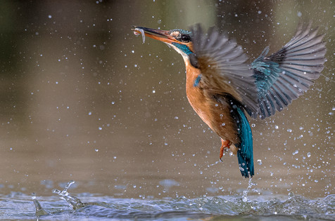 Kingfisher Emerging from dive 8