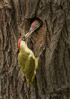 G Woodpecker feeding Juvenile