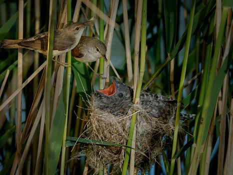 Reed Warblers feeding young Cuckoo