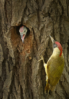 Green Woodpecker feeding Juvenile