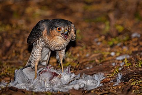 Sparrow Hawk with prey 4