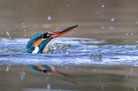 Kingfisher Emerging from dive 2