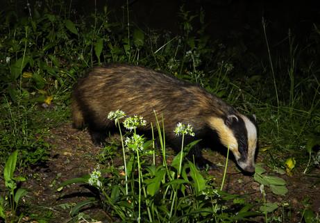 Badger foraging 1