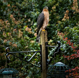 Sparrow Hawk waiting for a meal!