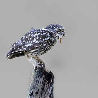 Little owl with an insect larva