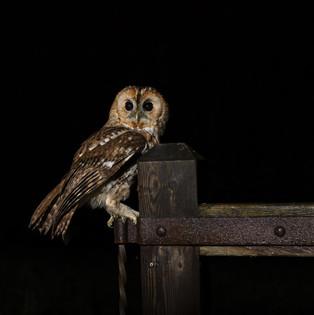 Tawny owl on gate hinge