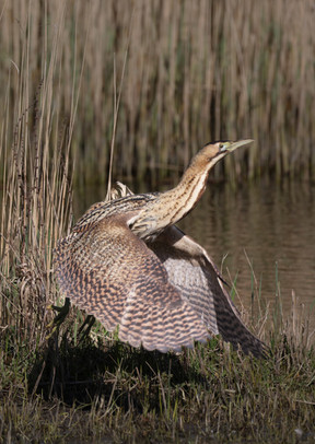 Bittern taking off