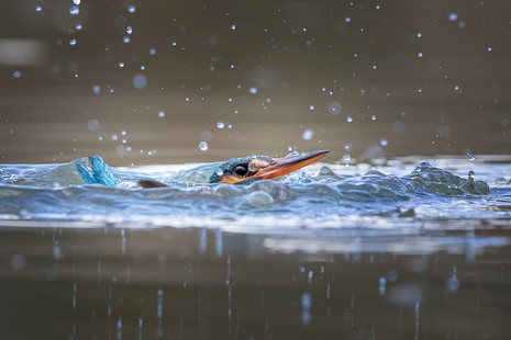 Kingfisher Emerging from dive 1