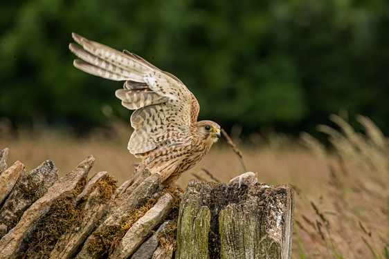 Kestrel about to take off