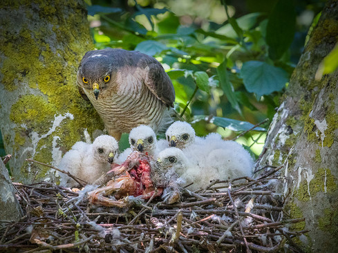 Sparrowhawk and chicks