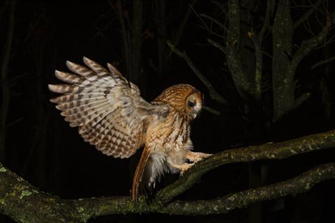 Tawny alighting on a branch