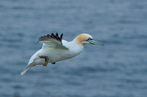 Gannet in flight 2