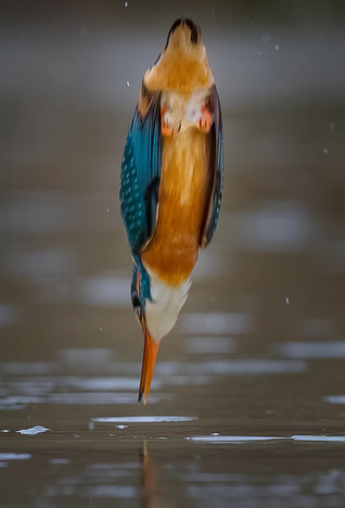 Kingfisher Diving 2