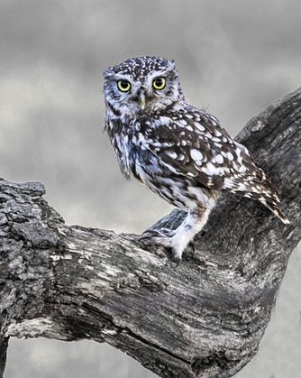 Little owl out in the daylight