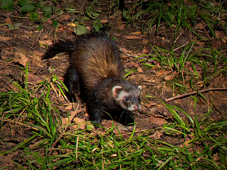 Return of the Stoats and visit from a Polecat