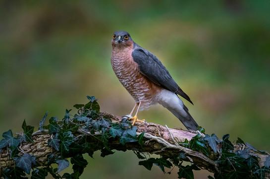 Male Sparrow Hawk portrait
