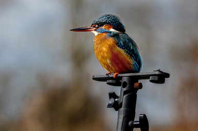 Kingfisher Perched 3