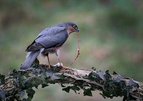 Male Sparrow Hawk feeding