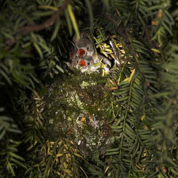 Goldcrest nestlings