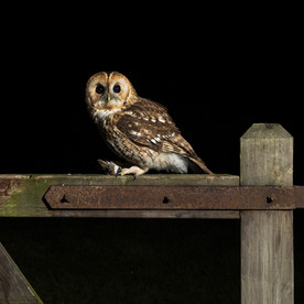 Tawny owl on gate with mouse - 1